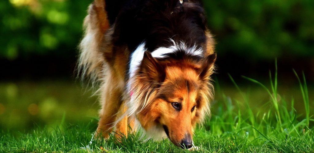 collie hundvalp