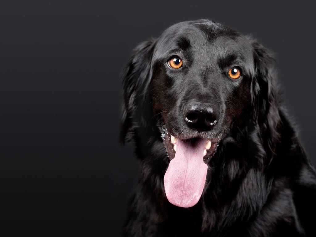 Glad svart hund