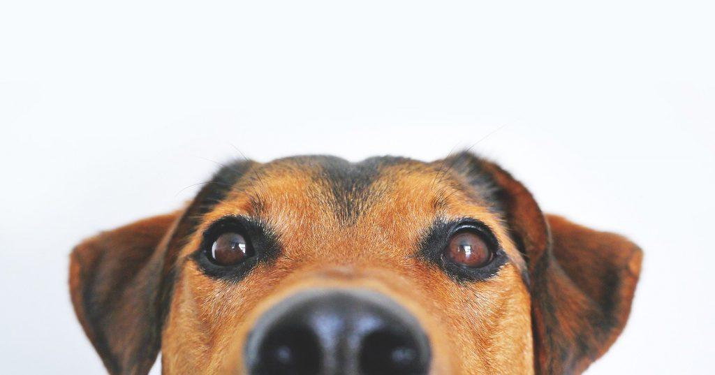 Hundförsäkring