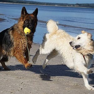 Begränsningar hundraser 300x300