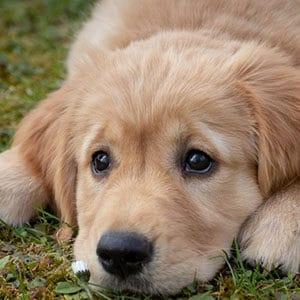 rashund